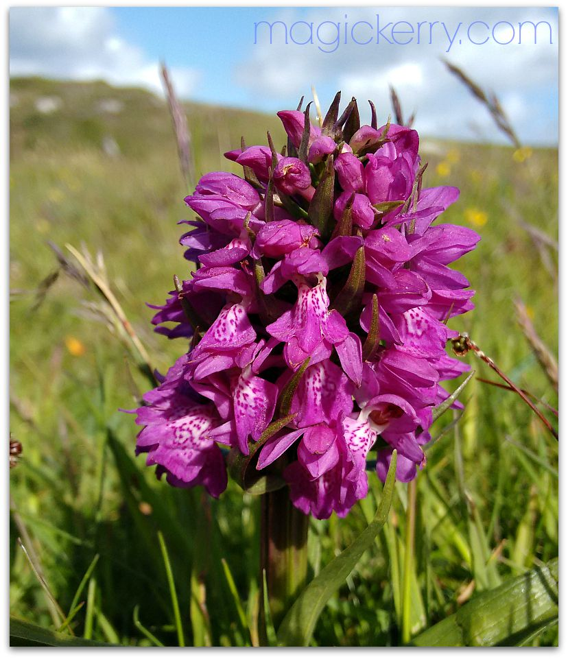 Wild Orchid on the dunes at the end of May