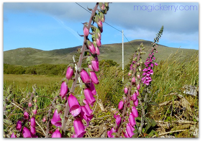 Foxgloves in Co. Kerry, Ireland